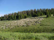 sheep herd.JPG (62859 bytes)