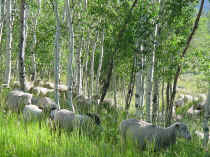 sheep trees.JPG (62183 bytes)